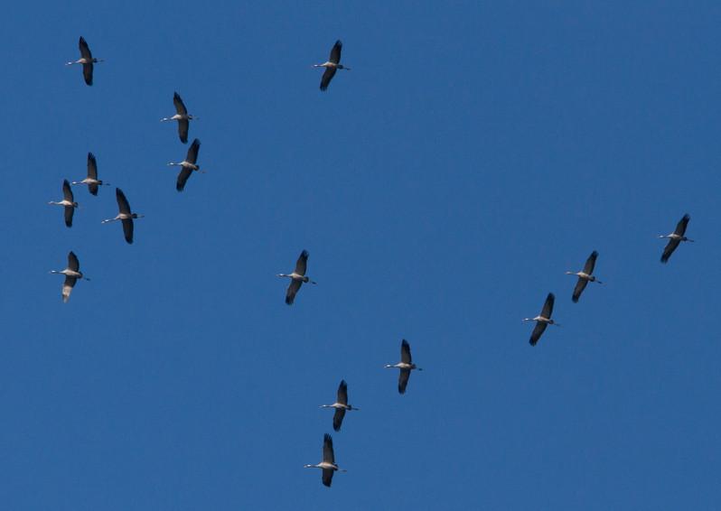 cranes in flight 1.jpg