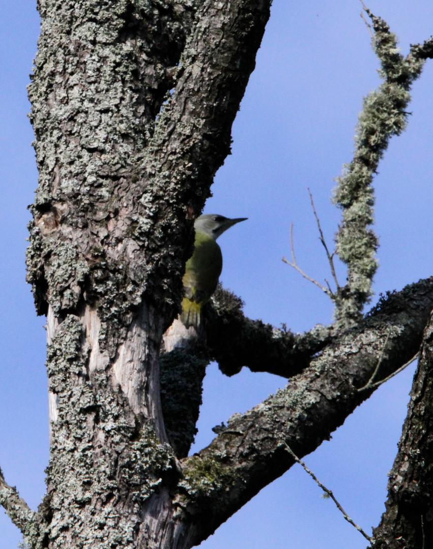 grey headed woodpecker 1.JPG