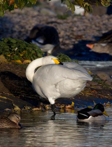 bewick swan.jpg