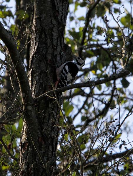 white backed woodpecker 1.JPG