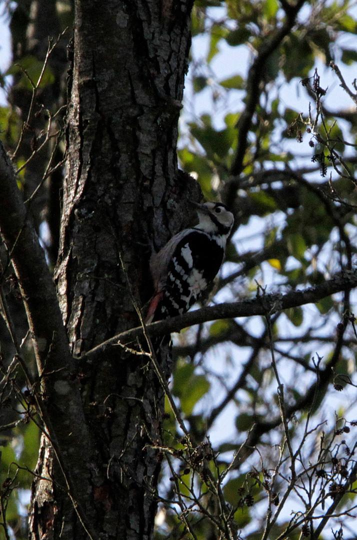 white backed woodpecker 2.JPG
