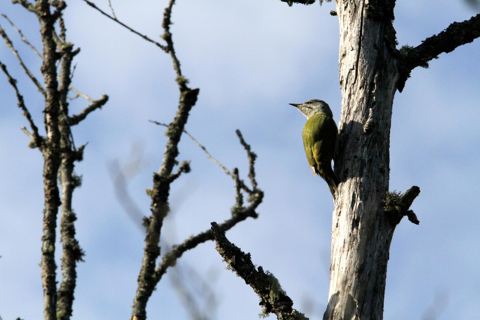 grey headed woodpecker 2.JPG