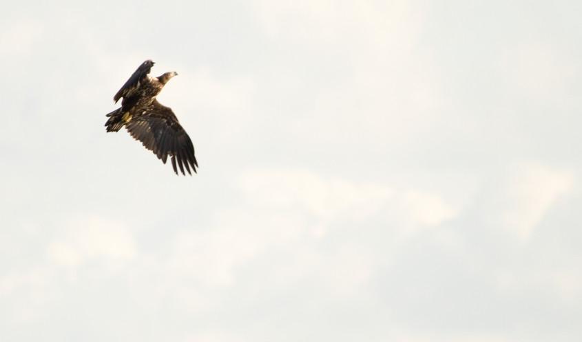 white tailed eagle 2.jpg