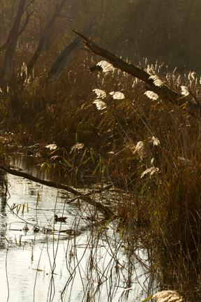 sunlight reeds.jpg