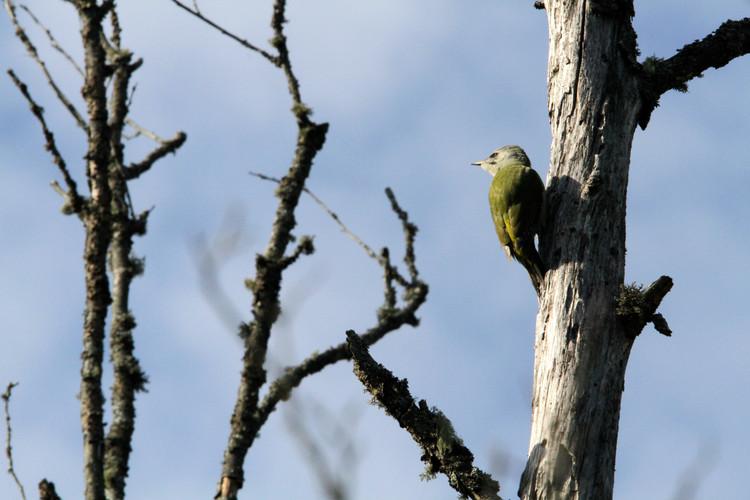 grey headed woodpecker 3.JPG