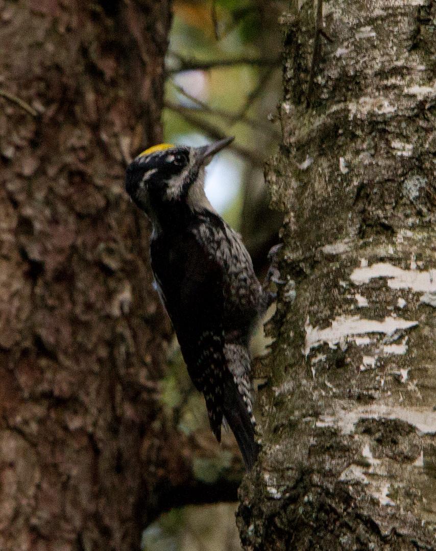 short-toed woodpecker.jpg