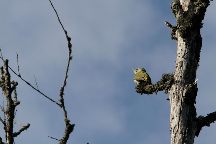 grey headed woodpecker 4.JPG