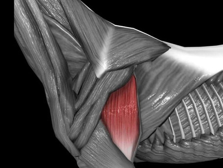 Your horses Triceps