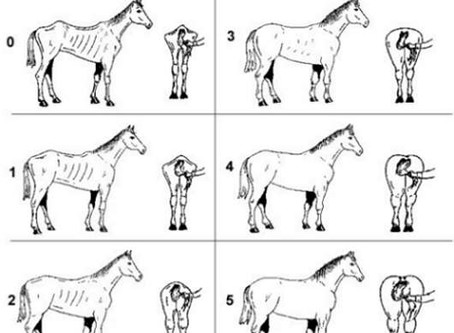 Equine obesity - know how to condition score your horse