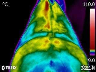 Veterinary Equine Thermography - What is it?