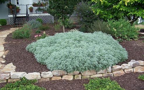 Artemisia x 'Powis Castle'