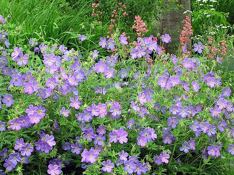 Geranium x 'Johnson's Blue'