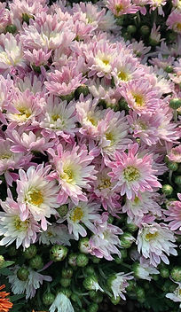 Chrysanthemum spp.