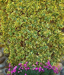 Euonymus japonicus 'Chollipo'