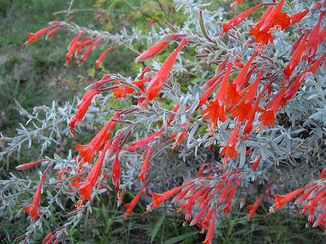 Zauschneria spp.
