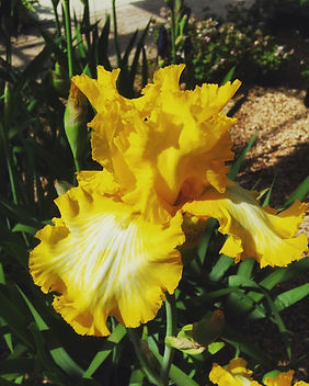 Iris x hybrida