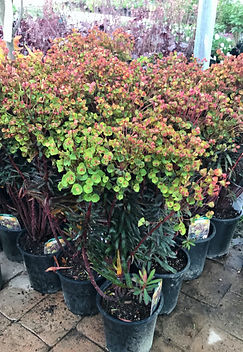 Euphorbia amyglaoides 'Ruby Glow'