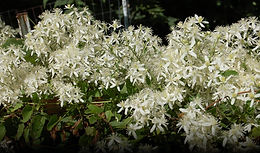 Clematis terniflora 'Sweet Autumn'