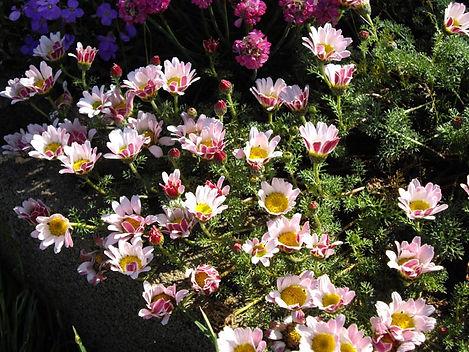 Anacyclus depressus 'Spring Carpet'