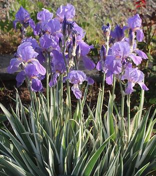 Iris pallida 'Albo Variegata'