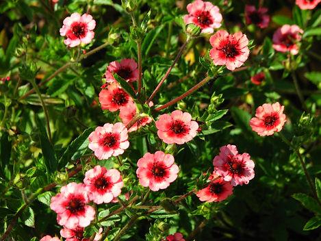 Potentilla nepalensis 'Miss Willmott' or 'Ron McBeath'