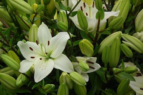 Lilium x asiatica