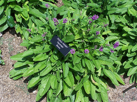 Stachys officinalis 'Hummelo'
