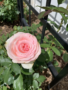 Rosa 'Eden'