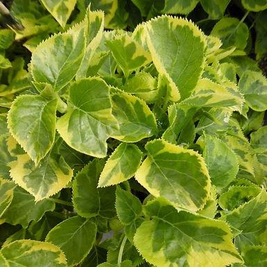 Hydrangea anomala petiolaris 'Miranda'