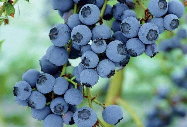 Brambleberry Farm Frozen Blueberries