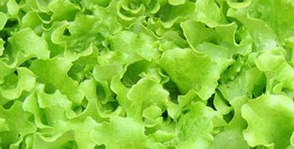 Urban Harvest Lettuce Seeds