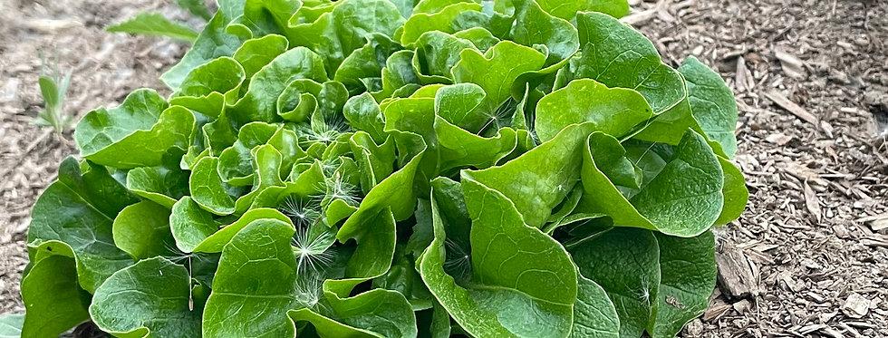 Knuckle Down Farm Salanova Lettuce Mix