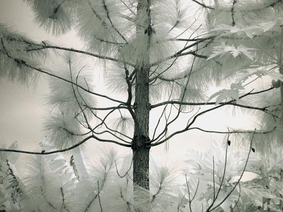 A Tahitian Tree