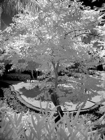 A Phoenix Tree