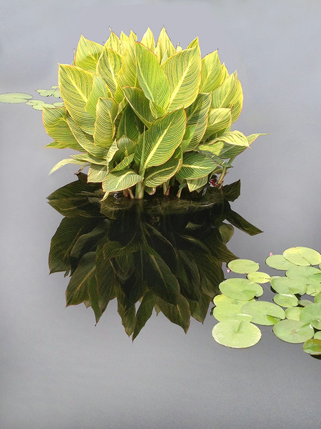 Among the Water Lilies