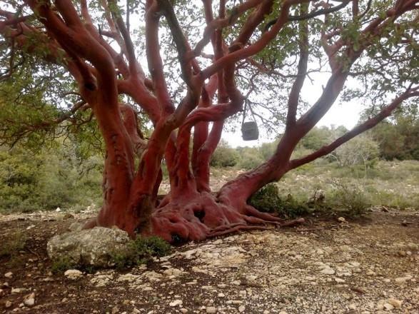 עץ הקטלב הענק בשמורת נחל מתת