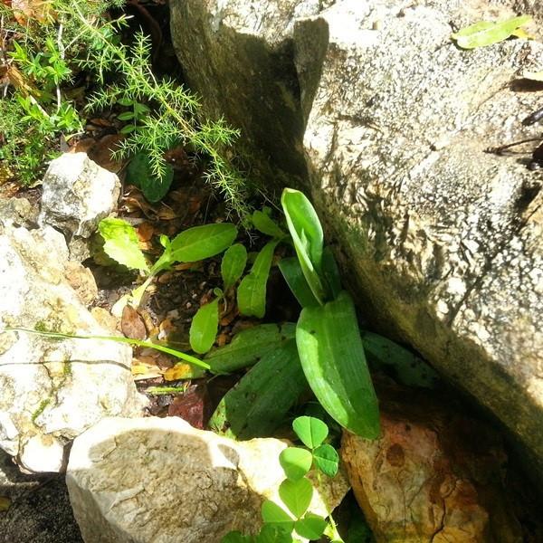 הסחלבן במדרגות האבן לצימר