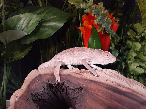 CB (Female) Panther Chameleon - Fucifer Pardalis