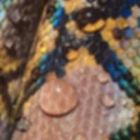 Reticulaed Python