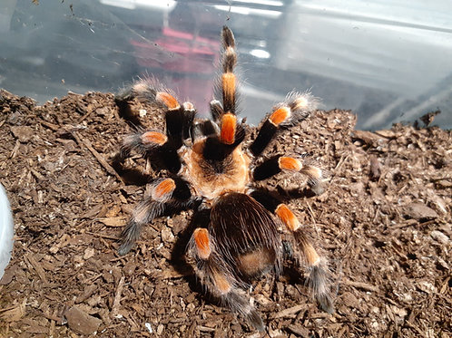 Giant Orange Knee- Male Brachypelma smithi (formerly annitha)