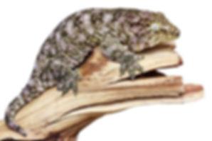 Leachianus