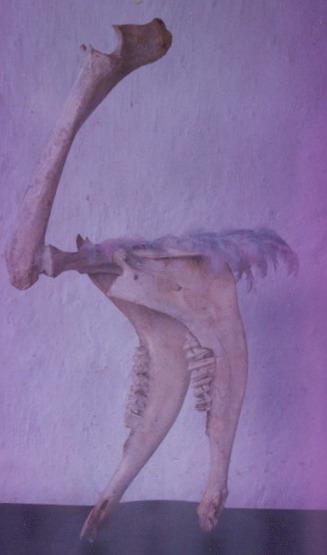 Avestruz blanca
