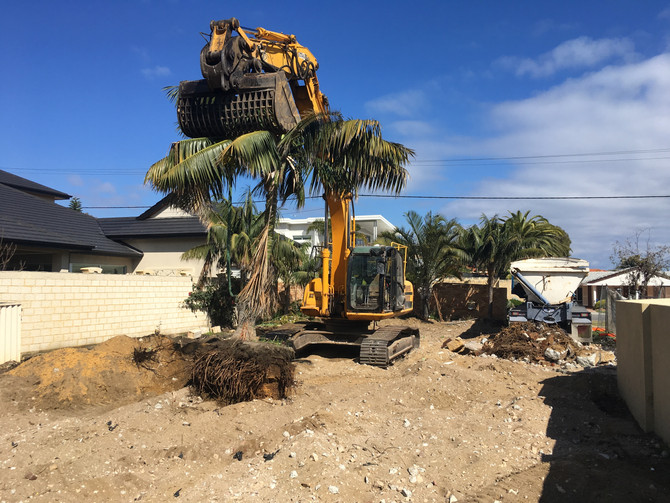 Transplanting Kentia Palms from Demo site.