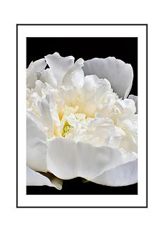 Black and White Peony Flower I