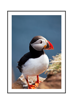 Nordic Puffin Bird Poster