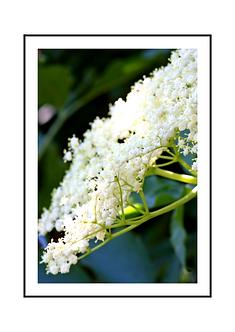 Elderflower Poster