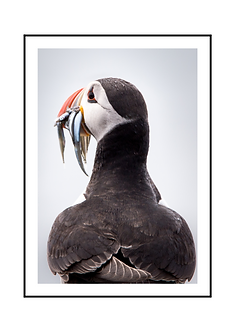 Hungry Puffin Bird Poster