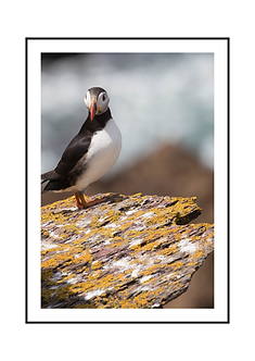 Puffin on The Rocks Poster