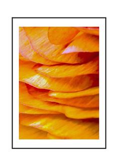 Orange Ranunculus Flower II