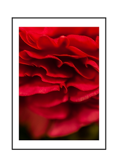 Red Ranunculus Flower I